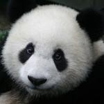 baby-giant-panda