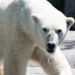 polar-bear-2-150x150