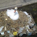 pollution-swan-sewage-150x150