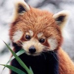 red-panda1-150x150