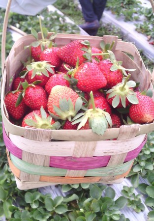 strawberry-farm-313x450