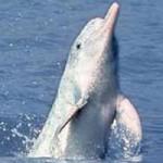 white-yangtze-dolphin_9-150x150