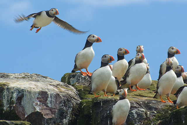 Puffins at Farne Island, Northumberland. Photo Credit: Some rights reserved by tallpomlin via Flickr.