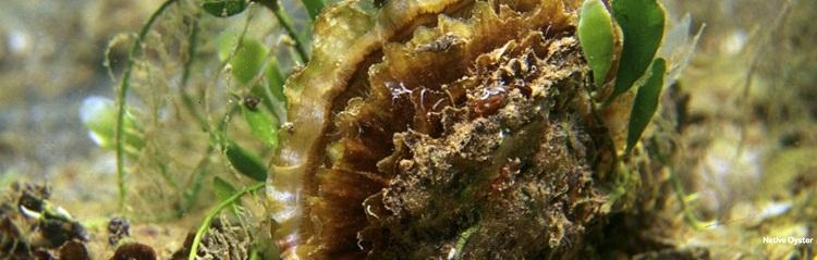 copyright-bluemarinefoundation-oyster