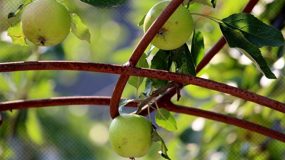 Fruits Apple Apple Tree