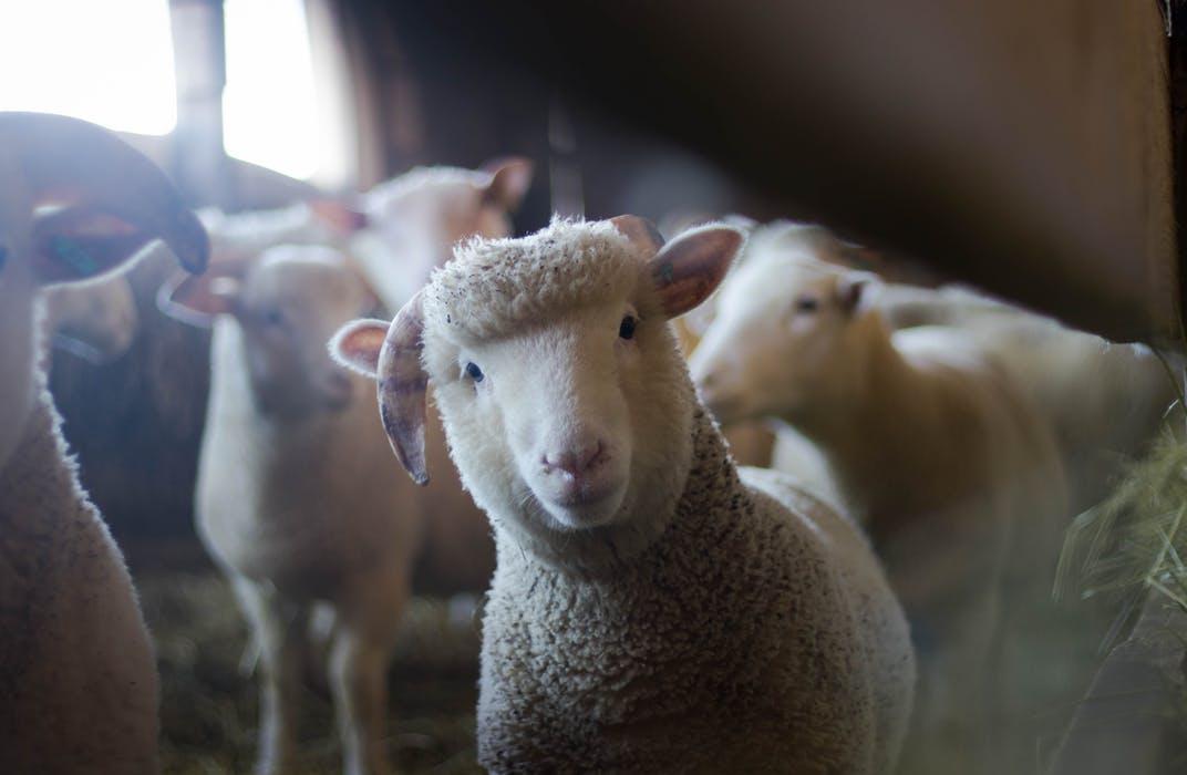 farm_animal