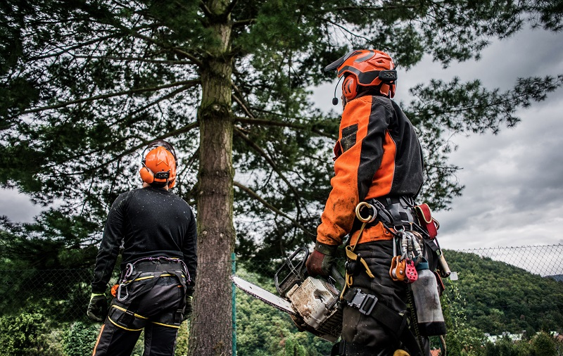 Rear view of arborist men with chainsaw cutting a tree, planning.